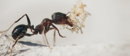 huile de fourmi